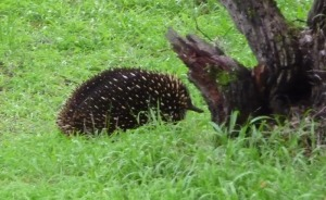 SAIG+Echidna+outside+Office_small